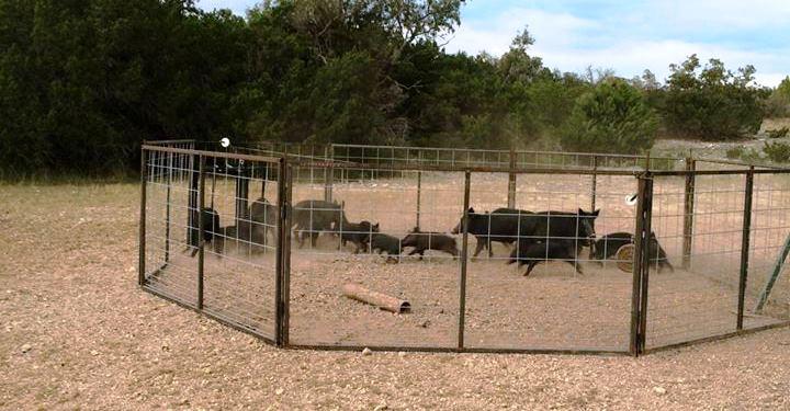 Modular Corral Trap Texas Hog Traps
